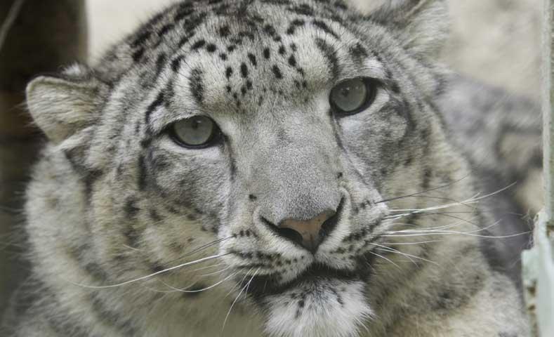 monitoringsnowleopard